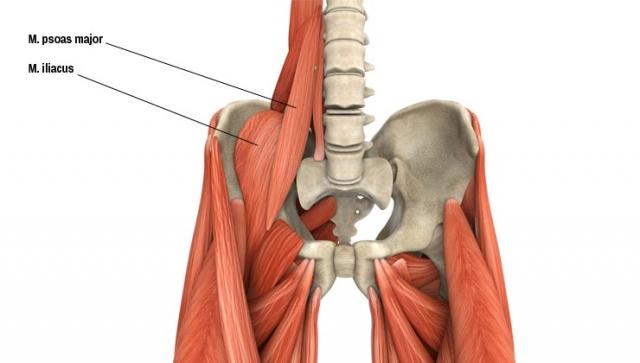 Anatomie – Der Musculus iliopsoas (Lenden-Darmbeinmuskel)