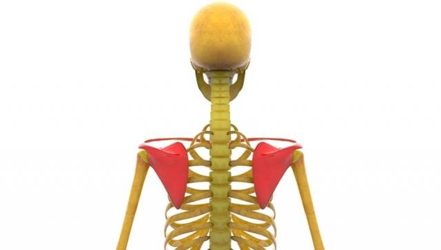 Anatomie des Schultergürtels – Aufbau und Funktion