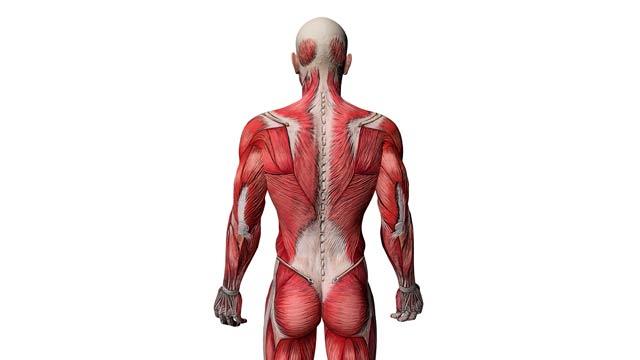 Aufgedeckt: Gibt es verkürzte Muskeln?