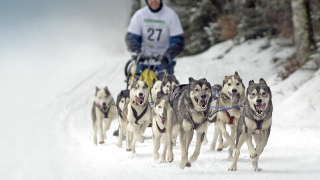 Internationale Schlittenhunde-Rennen in Todtmoos